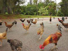 Тысячи диких кур заполонили остров