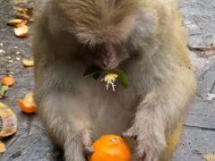 Обезьяна любит мандарины, но ей совсем не нравятся косточки