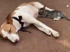Добрая собака поделилась с котёнком молоком