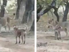 Бесстрашная собака доказала львице, что она тоже является грозным зверем