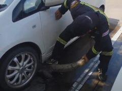 Крупного варана вытащили из-под машины за хвост