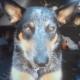 Собака, пропавшая вместе с угнанной машиной, вернулась к владелице через две недели