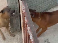 Собаки ненавидят друг друга только через забор