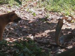 Змее, атакованной псами, пришлось воевать на два фронта