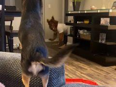 Пёс готов дать отпор любому оборотню, пришедшему в дом
