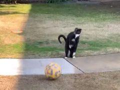 Ниндзя-кот любит играть в футбол