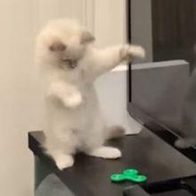 Котёнок не только развлёкся со спиннером, но и победил «врага»