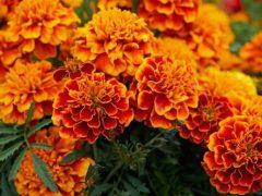 Сосед каждый год мучается из-за слишком оранжевых цветов