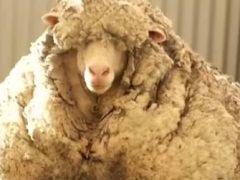 После стрижки одичавшая овца лишилась 35 килограммов шерсти