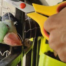Запутавшегося попугая успешно выстригли из сетки