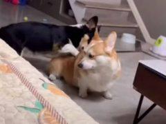Корги всегда готов расслабить друга с помощью массажа