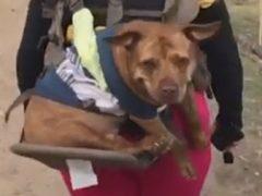 Пожилая собака, получившая возможность ходить в походы, не перестаёт улыбаться