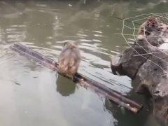 Чтобы переплыть водоём, умная обезьяна воспользовалась необычной лодкой