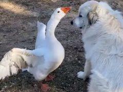 Гусь не только подружился с собакой, но и защищает её от других животных