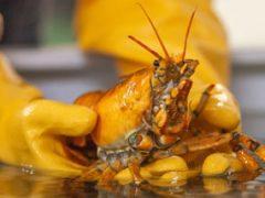 Редчайший жёлтый лобстер отправился жить в Центр морских наук