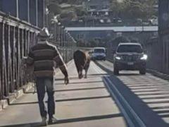 Бык удрал из трейлера и заблокировал движение на мосту