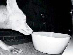 Лиса не смогла утолить голод из-за злобной кошки