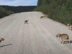 Волчата собрались вместе, чтобы попрактиковаться в навыках воя