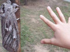 Огромный древесный мотылёк удивил любителей природы