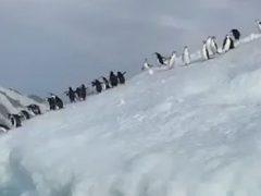 Пингвины не пожелали знакомиться с моряком