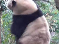 Покорение дерева утомило панду