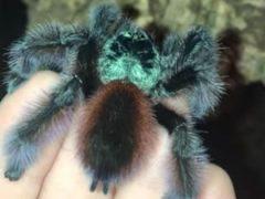 Красочный тарантул немного похвастался перед прыжком