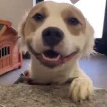 Улыбчивая собака очень рада тому, что её забрали из приюта