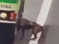 Водитель автобуса подвёз собаку, очутившуюся на оживлённой трассе