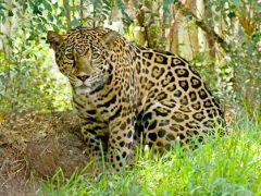 Посетительница зоопарка хотела полюбоваться на ягуаров, но испытала лишь огорчение
