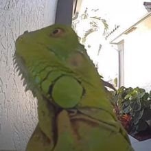 Игуану, пришедшую в гости, так и не пустили в дом