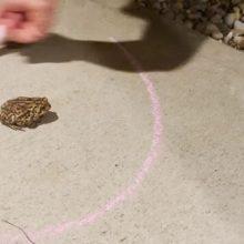 Меловой круг оказался для жабы непреодолимым препятствием