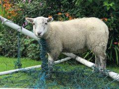 Близкое знакомство с футбольной сеткой не принесло овце радости