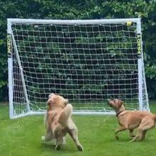 Развлекающиеся питомцы убедились, что ход игры может измениться из-за футбольных ворот