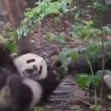Поняв, что с ней не хотят играть, маленькая панда закатила истерику