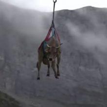 Коровы, не сумевшие спуститься с гор, полетали на вертолёте