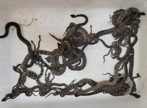 Змеелов собрал невероятный «урожай» гремучих змей